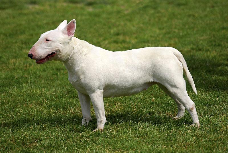 Addestratore sbranato e ucciso da un Bull Terrier nel Torinese