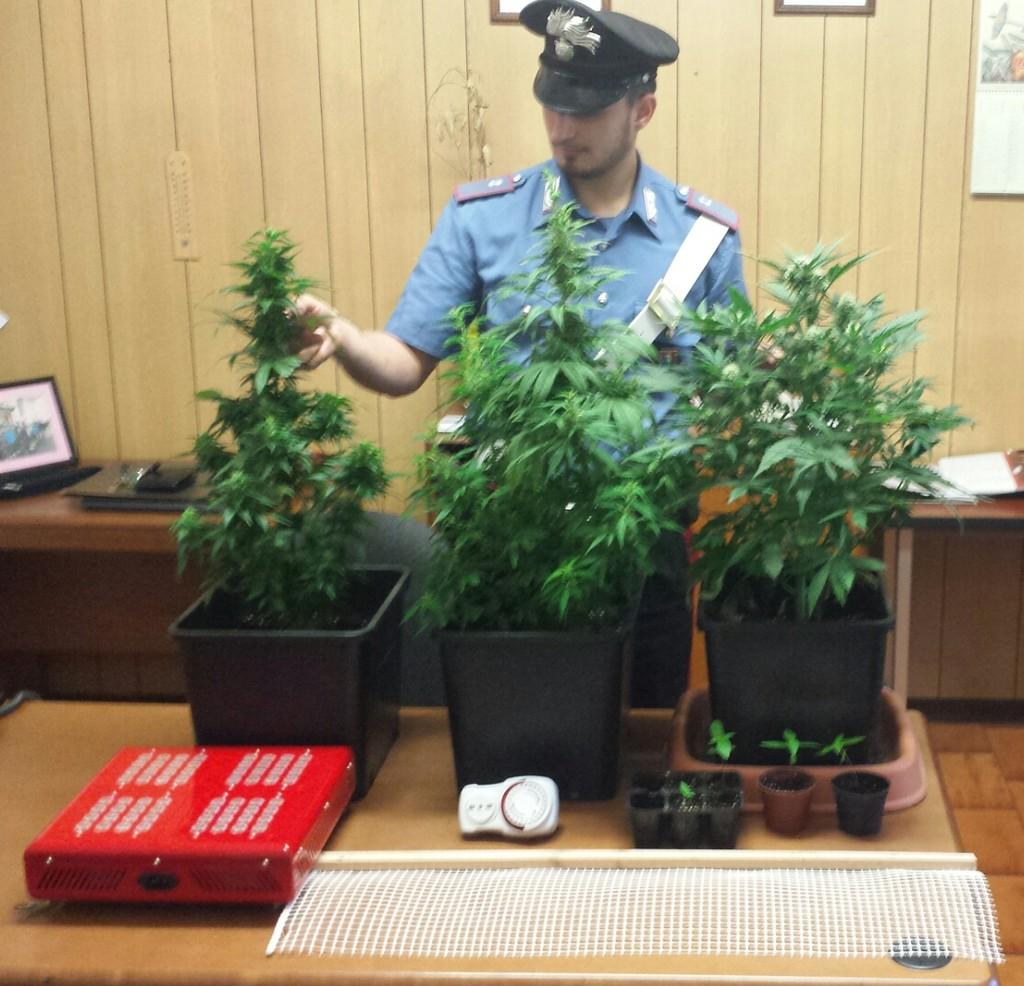 Valchiusella, mini serra di cannabis in casa. Debunciati due coniugi