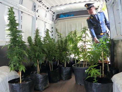 Giardiniere torinese arrestato dalla Finanza: coltivava decine di piante di canapa indiana