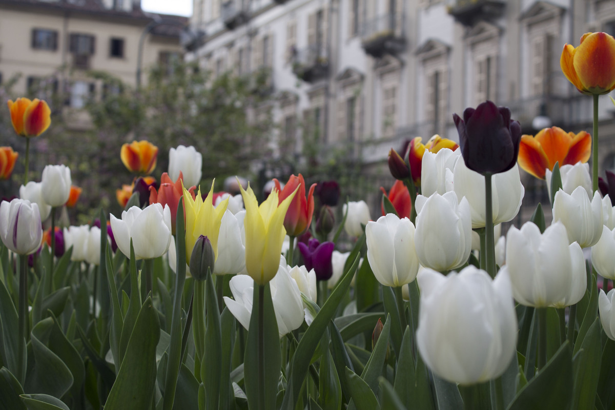 Piantare I Bulbi Di Tulipani anche la bellezza combatte il coronavirus: a torino