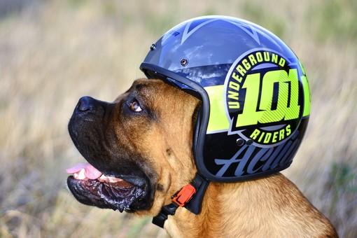 cane con un casco