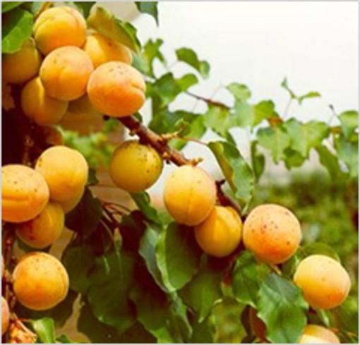 Alle origini della nostra tavola: la cooperativa frutticola Albifrutta