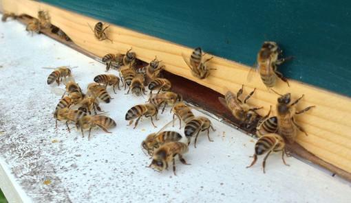 """Coldiretti, è allarme api: """"Preoccupano le importazioni di miele da Cina ed Est Europa"""""""