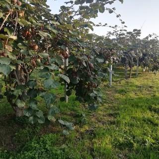 Una piantagione di kiwi