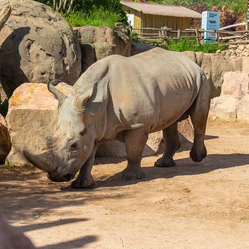 Zoom accoglie un nuovo rinoceronte bianco a Cumiana [VIDEO]
