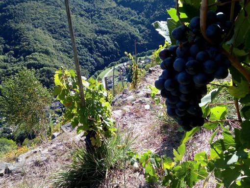Vigne di Pomaretto