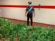 """Coltiva marijuana nel giardino di casa, arrestato dai carabinieri il """"contadino della droga"""" [VIDEO]"""