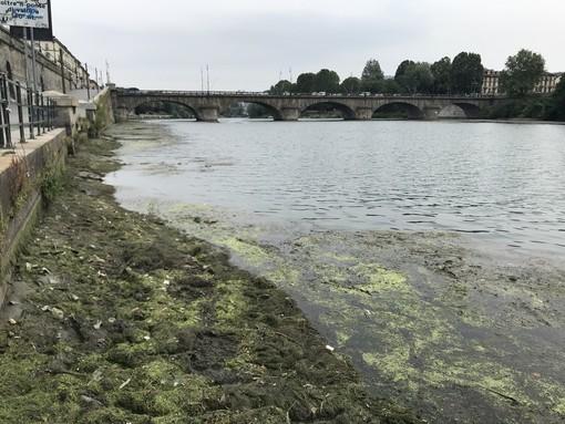 """Alghe sul Po, ma non sono quelle esotiche e """"nocive"""": il Comune apre la diga"""