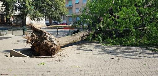 """Campidoglio, grosso albero cade per il vento nei giardini """"Dispersi sul fronte russo"""": tragedia sfiorata (FOTO)"""