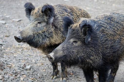 Novanta comuni hanno già accolto l'appello di Coldiretti Torino per fermare cinghiali e animali selvatici