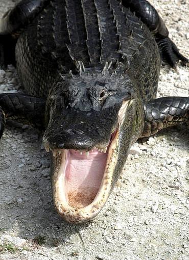 7 milioni di anni fa il coccodrillo africano attraversò l'Atlantico e colonizzò il nuovo mondo: studio di UniTo sul Scienific Reports