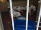 Chiusi sul balcone, sopravvivevano da giorni senza cibo né acqua: 10 cani salvati dalla polizia