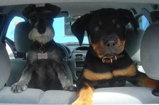 Due cani lasciati chiusi dentro una vettura rischiano di morire soffocati dal caldo: decisivo l'intervento di Polizia Municipale e Vigili del Fuoco