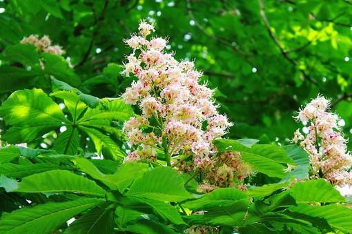 castagno in fiore