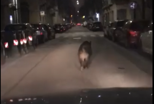 Incredibile, ma vero: un cinghiale nel bel mezzo di via Ormea a Torino [VIDEO]