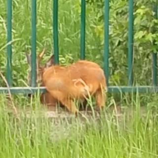 E' tornato libero a Villarbasse il capriolo incastrato nella recinzione dell'Istituto Irccs di Candiolo