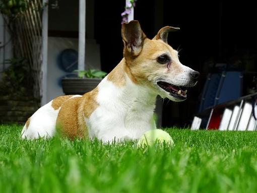 l'immagine di un cane simile a quello ritrovato nelle acque della Dora