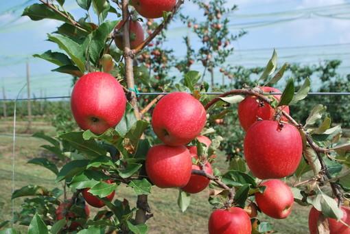 frutti-di-melo-tessa-campo-di-sperimentazione-varietale-della-fondazione-agrion-manta-fonte-agrion-