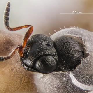Lotta alla cimice asiatica: in Piemonte effettuato il rilascio della vespa samurai in 100 siti