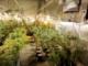 """A Mirafiori un """"grande magazzino"""" della marijuana: i poliziotti scoprono oltre 500 piantine [VIDEO]"""