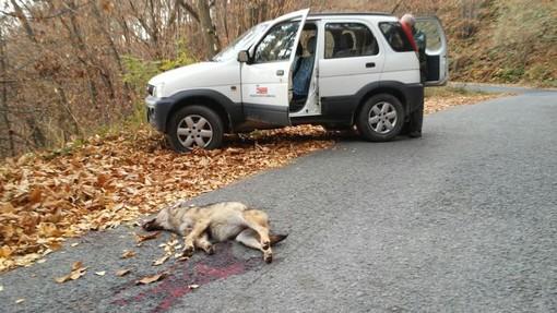 Giovane lupa investita e uccisa da un'auto sulla Strada Provinciale di Verna