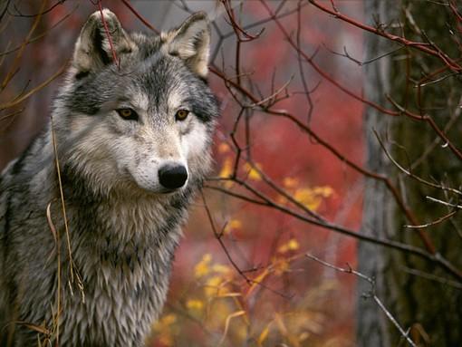"""""""Non si spara al lupo"""": l'appello arriva da Disabato (M5S)"""