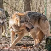 lupi - foto di repertorio