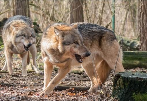 lupi - immagine di repertorio