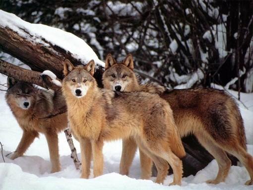 Emergenza lupi: per Coldiretti la priorità  è difendere gli allevamenti piemontesi