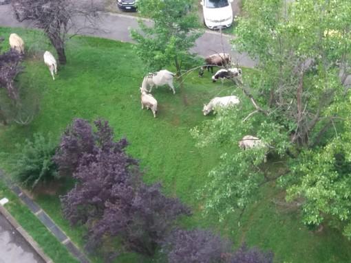 Le mucche attraversano corso Tazzoli e pascolano al Centro Europa [FOTO]