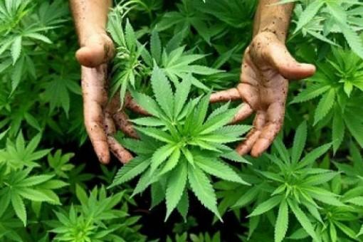 Avigliana, coltivava marijuana nel giardino di casa: arrestato