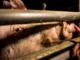 Torino, un aperitivo a favore dei maiali salvati dal macello