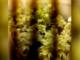 In casa ha due serre di marijuana nascoste dentro gli armadi: arrestato [VIDEO]
