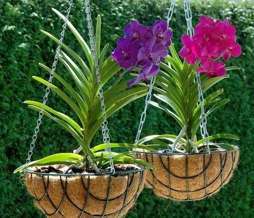 Orchidea Vanda… qualche consiglio di coltivazione
