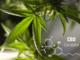 """L'Aifa ha autorizzato l'utilizzo del primo farmaco a base di cannabidiolo per il trattamento delle epilessie rare. Jose Giron (COO di Amazonas Florestal): """"Il tabù che circonda la pianta di cannabis in alcune aree del mondo non durerà a lungo"""""""