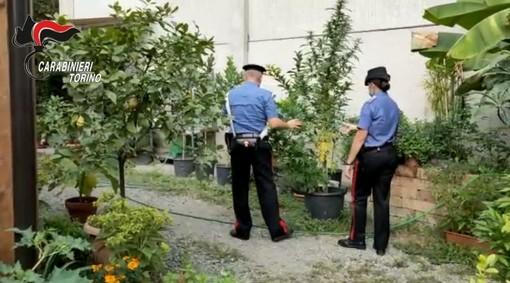 """Un """"vivaio di marijuana"""" con piante alte due metri nascosto in un giardino tra edere, palme, pomodori e gelsomini [VIDEO]"""
