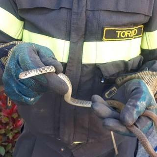 Non solo gattini: due serpenti recuperati dai vigili del Fuoco a Vische