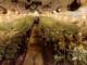 serra di cannabis