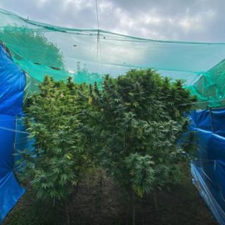 Dalla produzione allo spaccio: nella casa di Cavour la filiera della marijuana era completa [VIDEO]