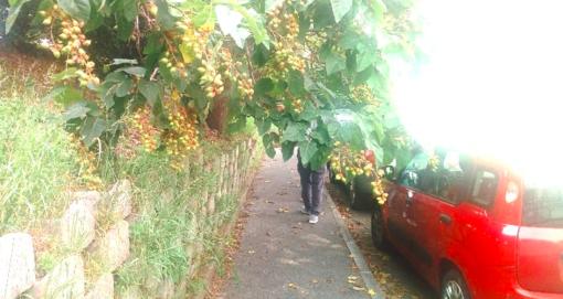"""Vegetazione fitta in via Pietro Cossa: """"I pedoni non riescono a passare sul marciapiede"""""""